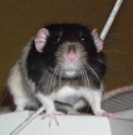 Haruto Rat